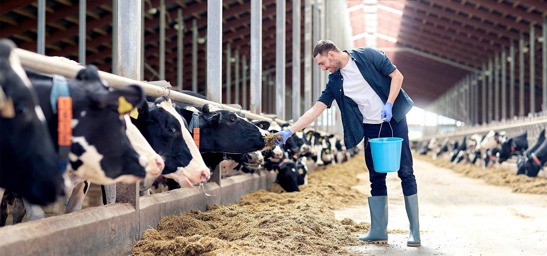 PRIMAGAS - Flüssiggas für die Landwirtschaft, Kuhstall, Fütterung